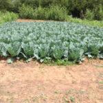 kenya-farming04