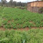 kenya-farming06